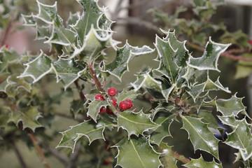 Stechpalme Ilex mit Beeren und Rauhreif im Winter