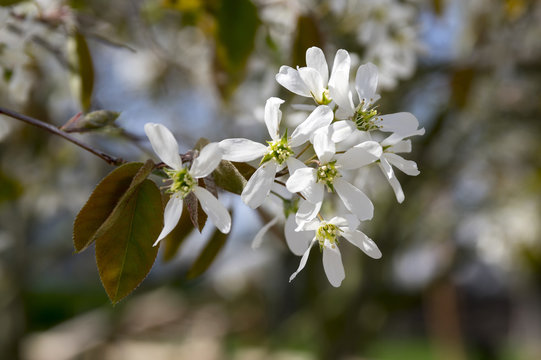 Amelanchier spicata tree in bloom, service berry white ornamental flowers and buds