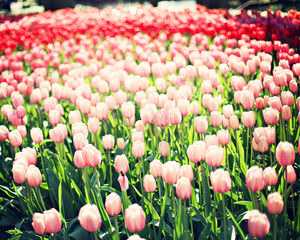 Vintage tulips in a garden in spring