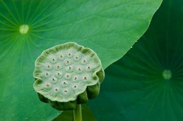 Sacred Lotus Seed Pod