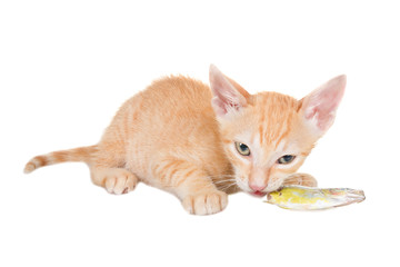 A small red kitten chews raw fish. Isolated on white background