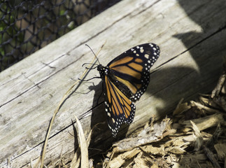 Isolated Monarch Butterfly on a log