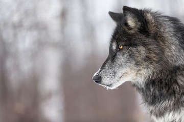 Poster Wolf Black Phase Grey Wolf (Canis lupus) Profile Copy Space