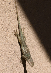 Lizard in Desert Museum - Arizona