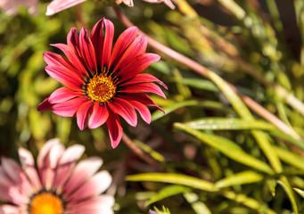 Pink African daisy, Osteospermum Ecklonis