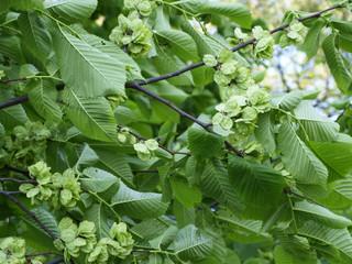 Elm or ulmus pumila tree green foliage