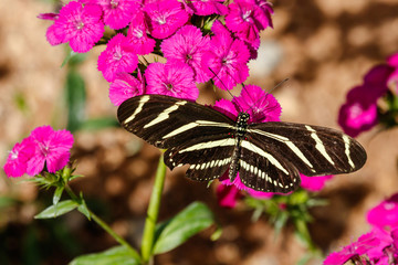 Zebra Longwing butterfly resting on a bunch of brightly colored pink flowers in Phoenix, Arizona.