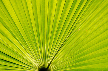 Close up Green Palm leaves with Lines Texture.