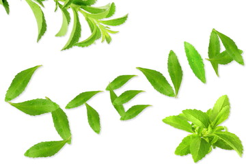 fresh green Stevia rebaudiana with leaves text and text copy space in white background