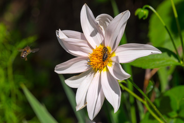 Honey bees collecting pollen from white cosmos flower with sunset light.