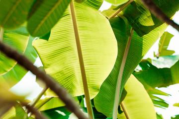 fresh banana leaves on white background