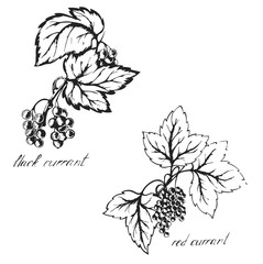 Sketch black and red currants , berries , sketch done with ink on paper