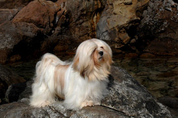 Portrait of lhasa apso dog