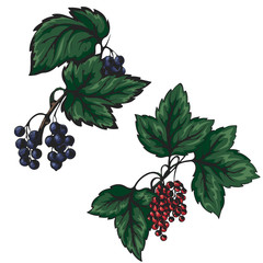 vector illustration of a red and black currant on a white background
