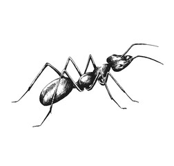 sketch drawing of an ant
