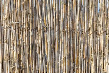 Fence of young bamboo
