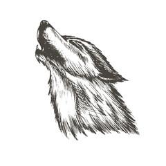 sketch vector illustration of wolf