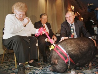 LuLu, a 150-pound potbellied pig, is positioned for photos with owner JoAnn Altsman, (L) at the Amer..