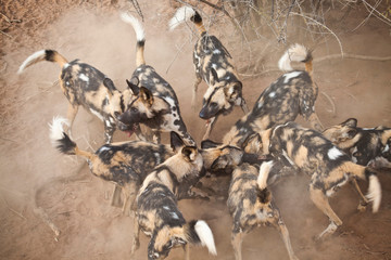 African Wild Dogs Wall mural