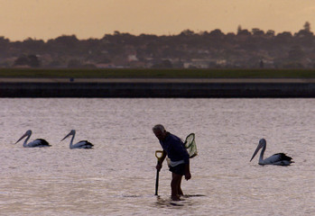 MAN SEARCHES WITH SHOVEL FOR SEA WORMS IN SYDNEY'S BOTANY BAY.