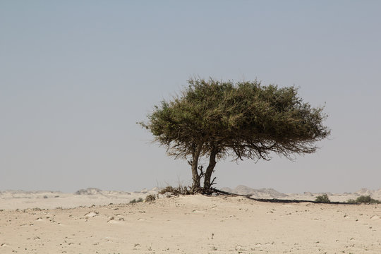 Frankincense tree in the desert of the Oman