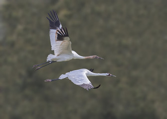 Whooper Wing Harmony - A whooping crane juvenile and its parent are in synchronized wing beat harmony while in flight.