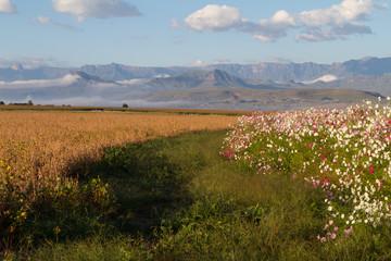 cosmos Drakensberg South Africa