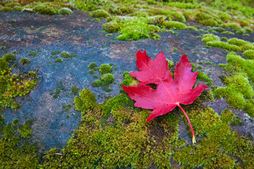 Red Maple Leaf on Moss
