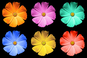 Pack of colored Primula flowers macro isolated on black