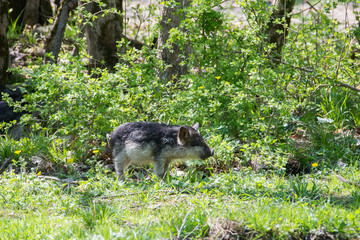 Funny hairy baby pigs in the green bushes
