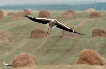 A stork flyes over a field outside a small village of Moshchena July 30. Belarussians consider this ..