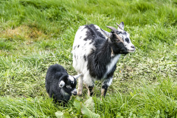 Goat mother with her young black kid