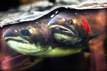 Fear Chinook Coho Salmon Close Up Issaquah Hatchery Washington State