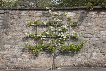 Spalierobstbaum an einer Mauer in Rothenburg
