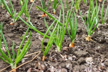 Onion bed growing on black ground garden bed in spring season organic home garden in countryside