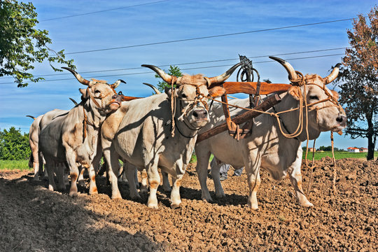 Oxen that pull the plow in the countryside of Emilia Romagna, Italy