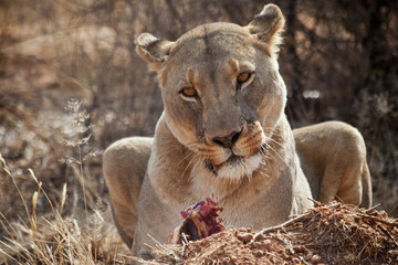 Lioness, Naankuse, Namibia