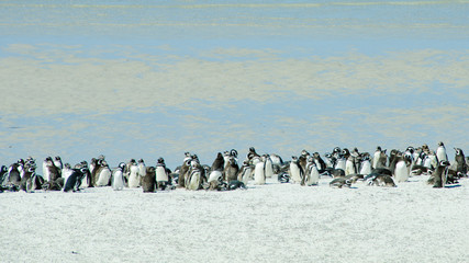 Hundreds of Magellanic penguins make their home at Gypsy Cove, in the Falkland Islands.