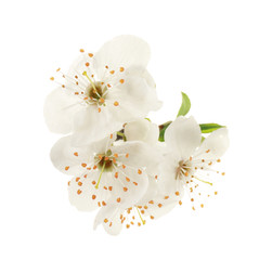 Branch of blooming tree flowers on white background