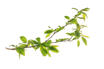 Branch with tree leaves on white background