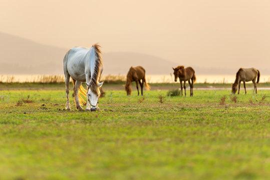 White horses graze in the beautiful green field