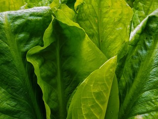 Skunk Cabbage Leaves