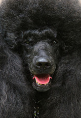 Black standard French poodle