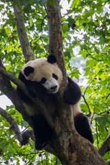 Fotobehang Panda Giant Panda sleeping in a tree