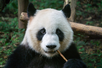 Photo sur Aluminium Panda Giant panda eating bamboo