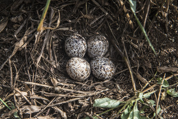 African Quail nest and eggs