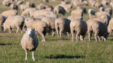 Schafherde auf grüner Weide