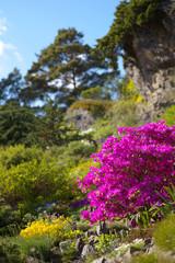 Violin  Rhododendron