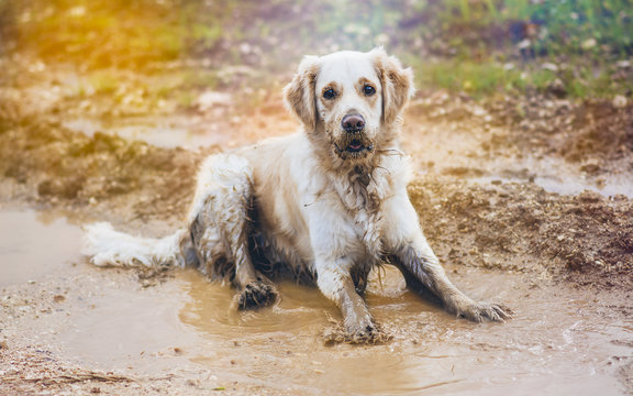 Golden retriever in the puddle