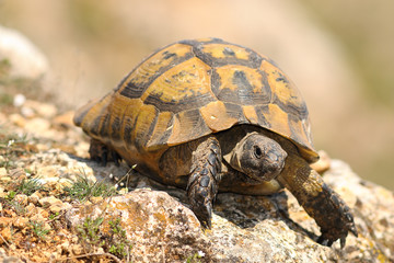 closeup of wild Testudo graeca